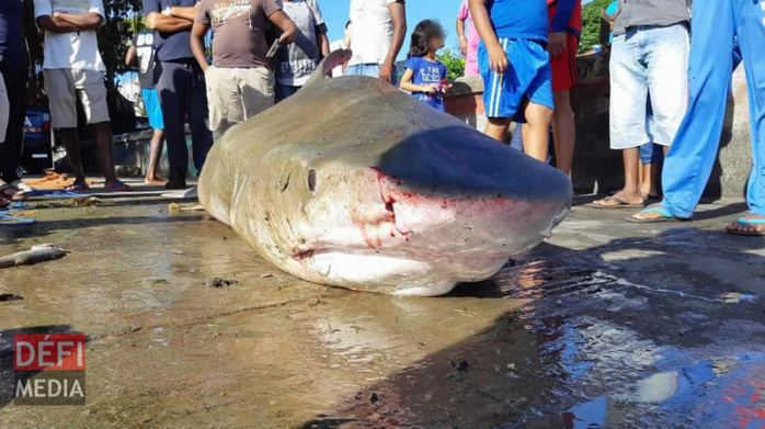 "Maurice: Capture d'un requin bouledogue de ""4 à 5 mètres"""