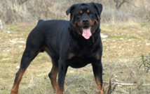 Un rottweiler (Photo d'illustration, source wikicommons)