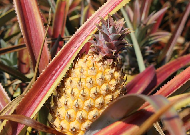 Un virus ravage la production d'ananas péi