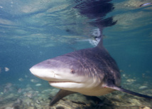 St-Leu: Capture d'un requin-bouledogue de 2,80 m