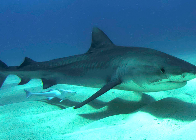 Un requin-tigre de 3m capturé à Ste-Rose